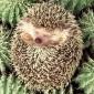 تصویر hedgehog1